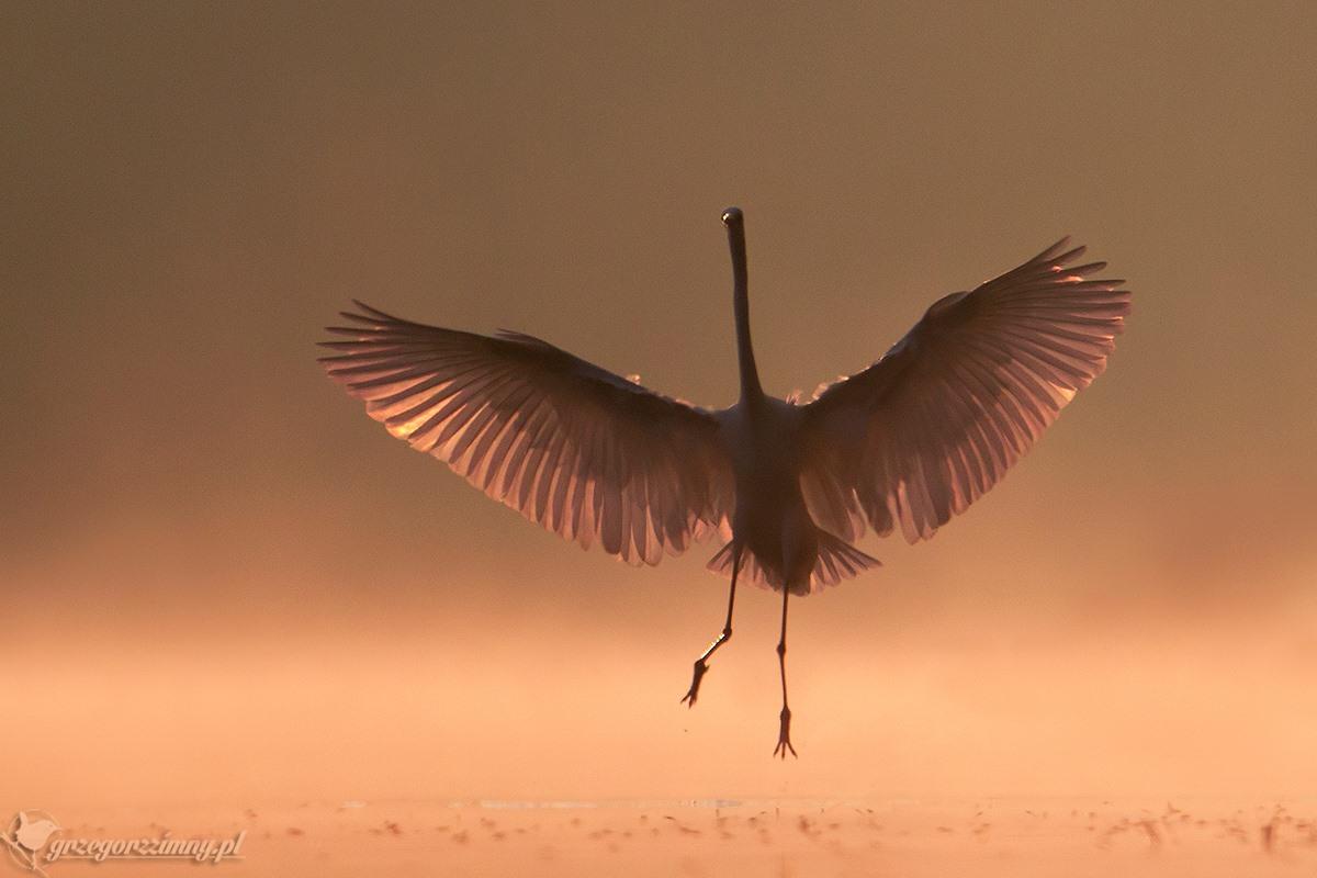 Gracious egret