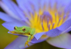 Dainty Tree Frog in a Water Lily Flower, Cairns, Australia – Most Beautiful Picture