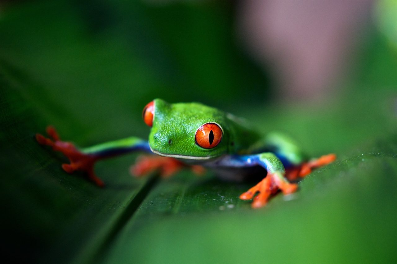 Frog, Costa Rica – Most Beautiful Picture