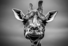 Giraffe portrait – Most Beautiful Picture