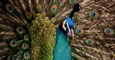 Peafowl – Most Beautiful Picture