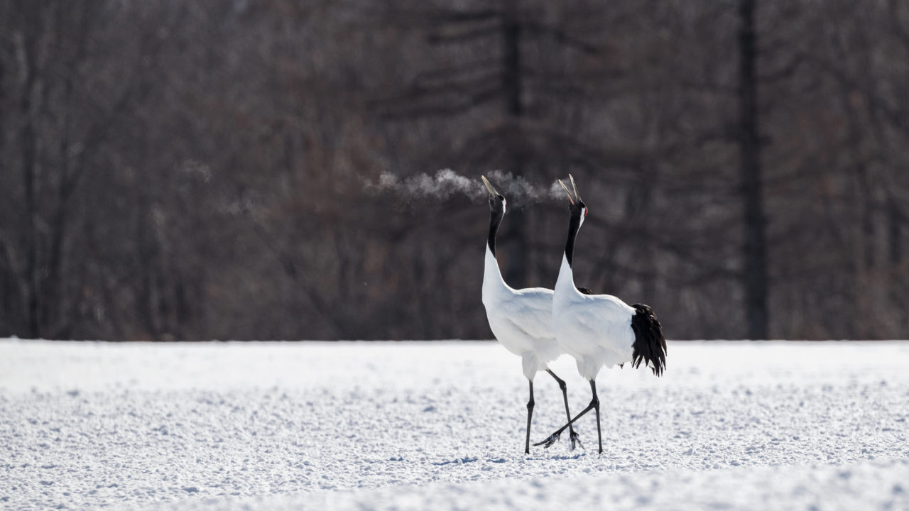 Red-crowned crane couple dancing – Most Beautiful Picture