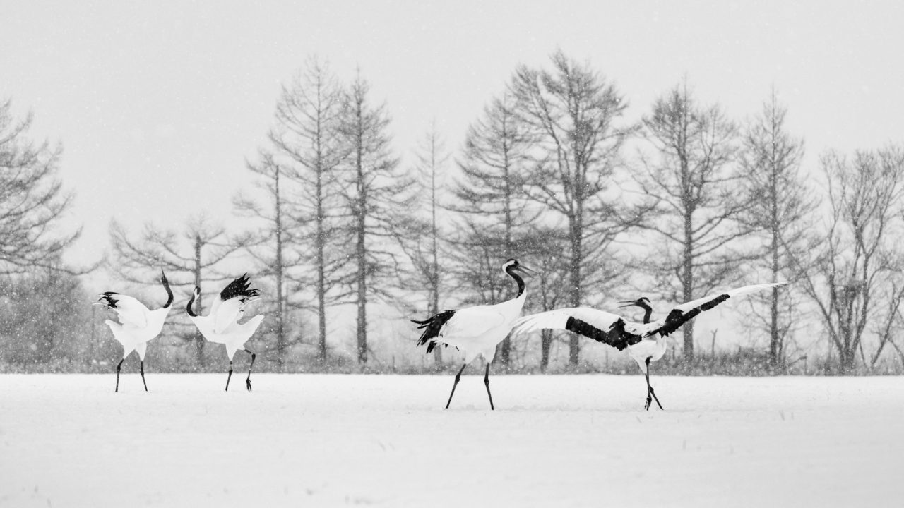 Red-crowned crane couples dancing – Most Beautiful Picture
