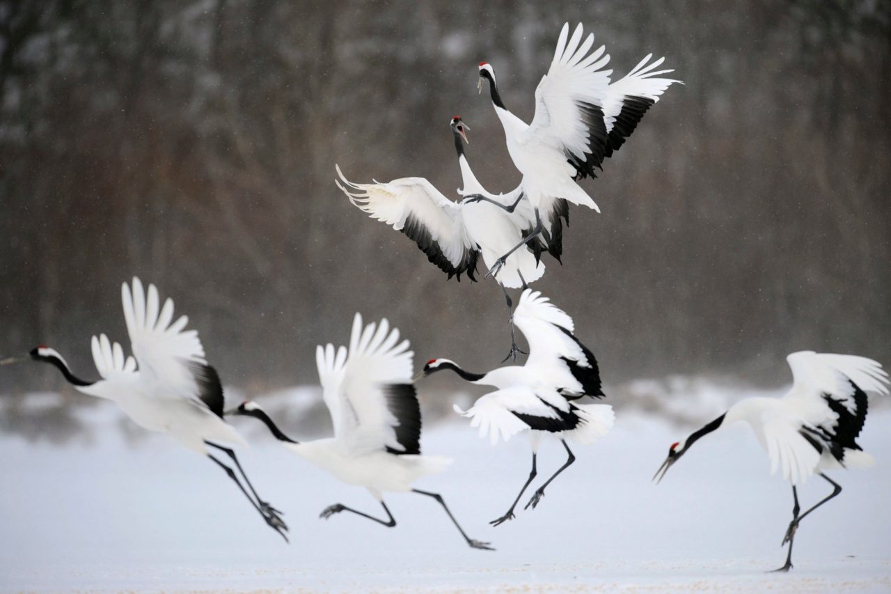 Red-Crowned Crane, Korea – Most Beautiful Picture