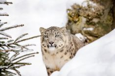 Snow Leopard – Most Beautiful Picture