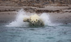 Polar Bear, Spitsbergen, Norway – Most Beautiful Picture