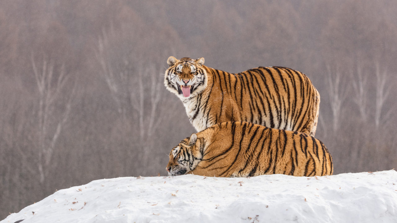 Tigers – Most Beautiful Picture