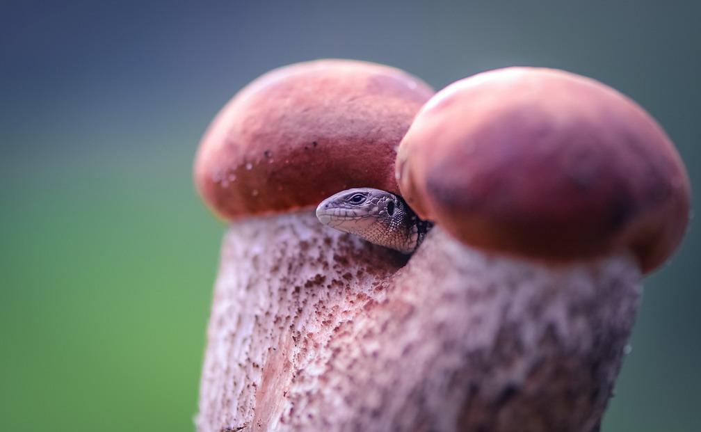 Lizard and mushrooms