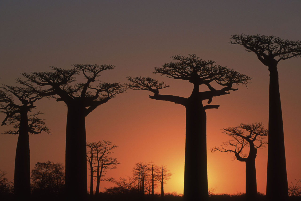 Avenue of the Baobabs, Madagascar – Most Beautiful Picture