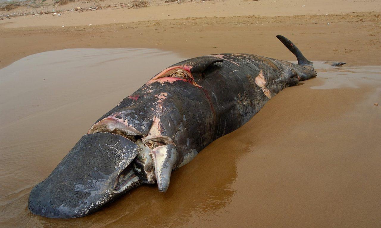 60 % des baleines tuées en Grèce par des bateaux – Les Baleines