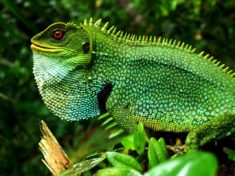 Iguana, Yasuni National Park, Ecuador
