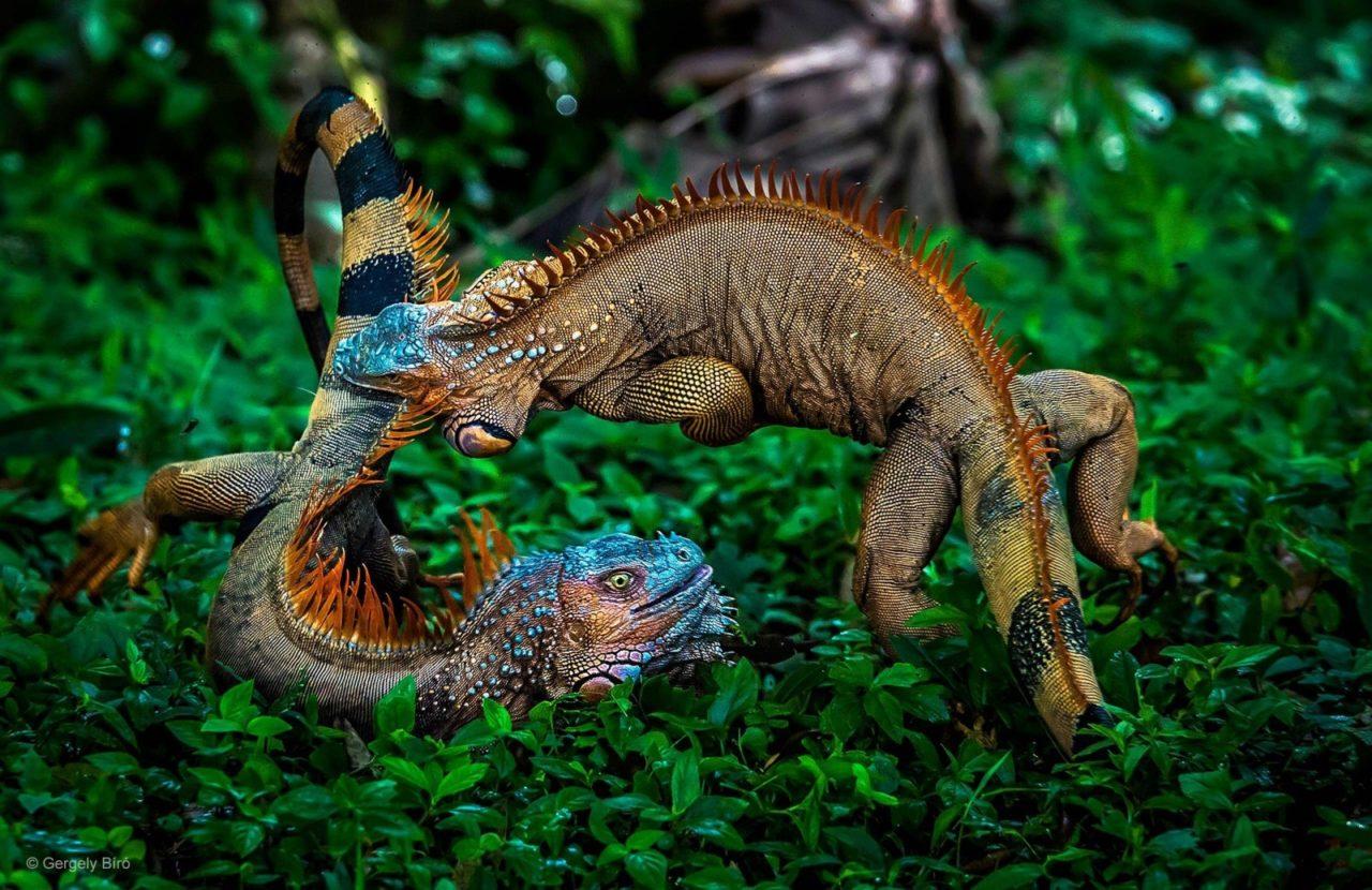 Battle of iguanas, Costa Rica
