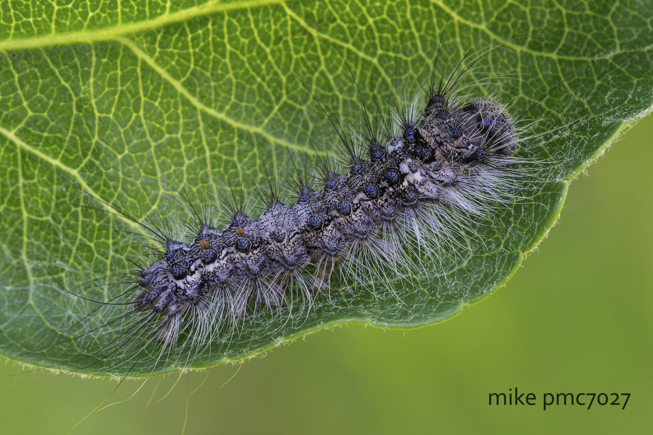 Caterpillar of the gypsy moth Lymantria dispar