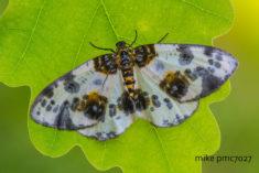 Pheidenica elm-variegated Abraxas sylvata