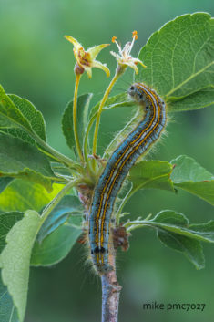 Caterpillar of the Ringed Spiderman Malacosoma neustria