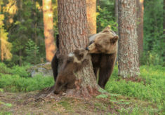 Bear family kiss