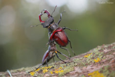 Stag beetles
