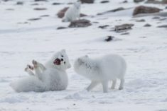 Polar Bear Photography Tour | Arctic Kingdom