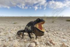 Chamaeleo namaquensis, Namibia