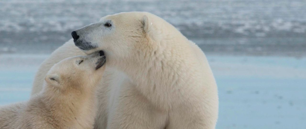 Polar Bear Photography Tour | Arctic Kingdom
