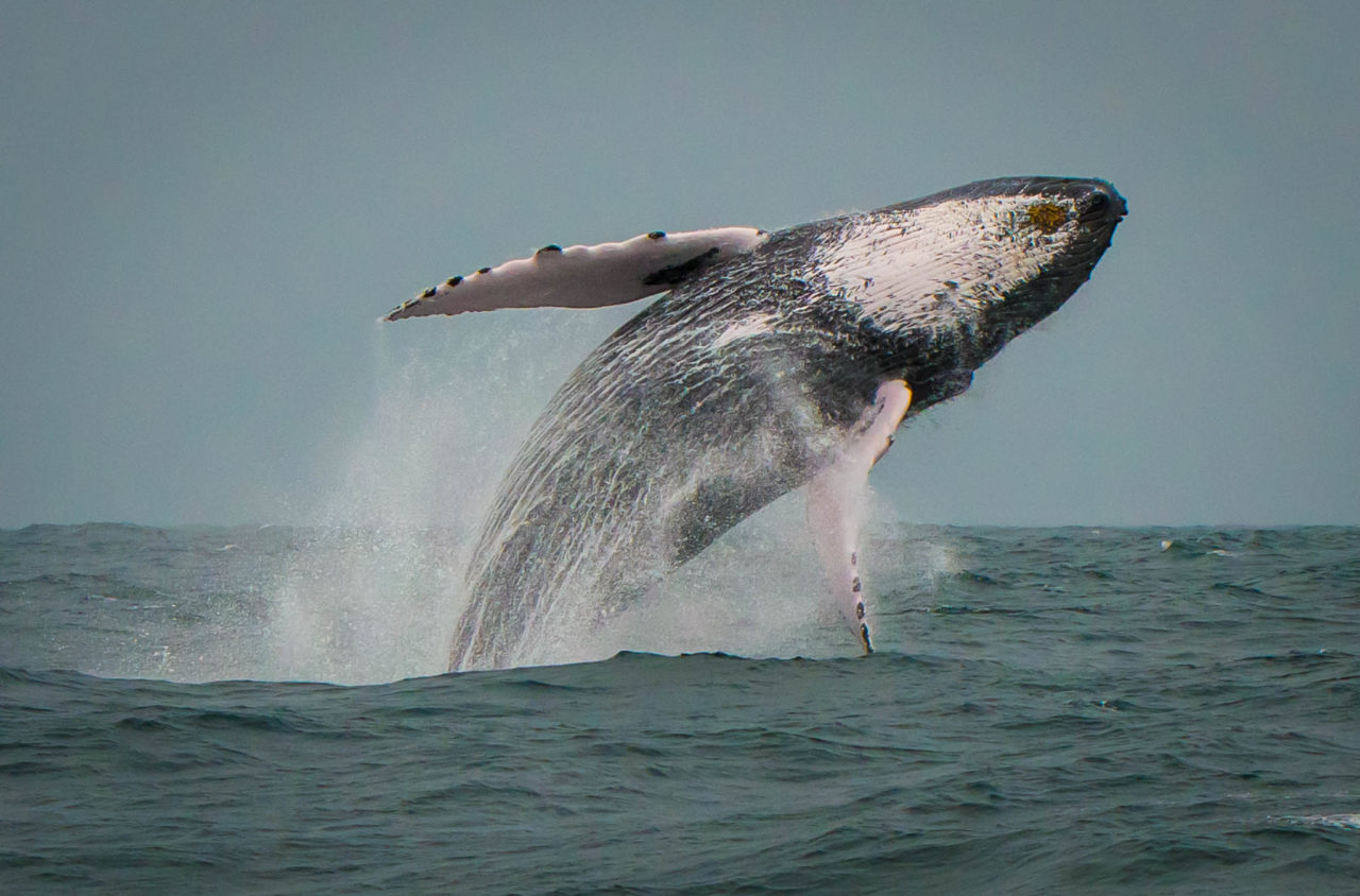 Humpback whale jump in Dominican Republic