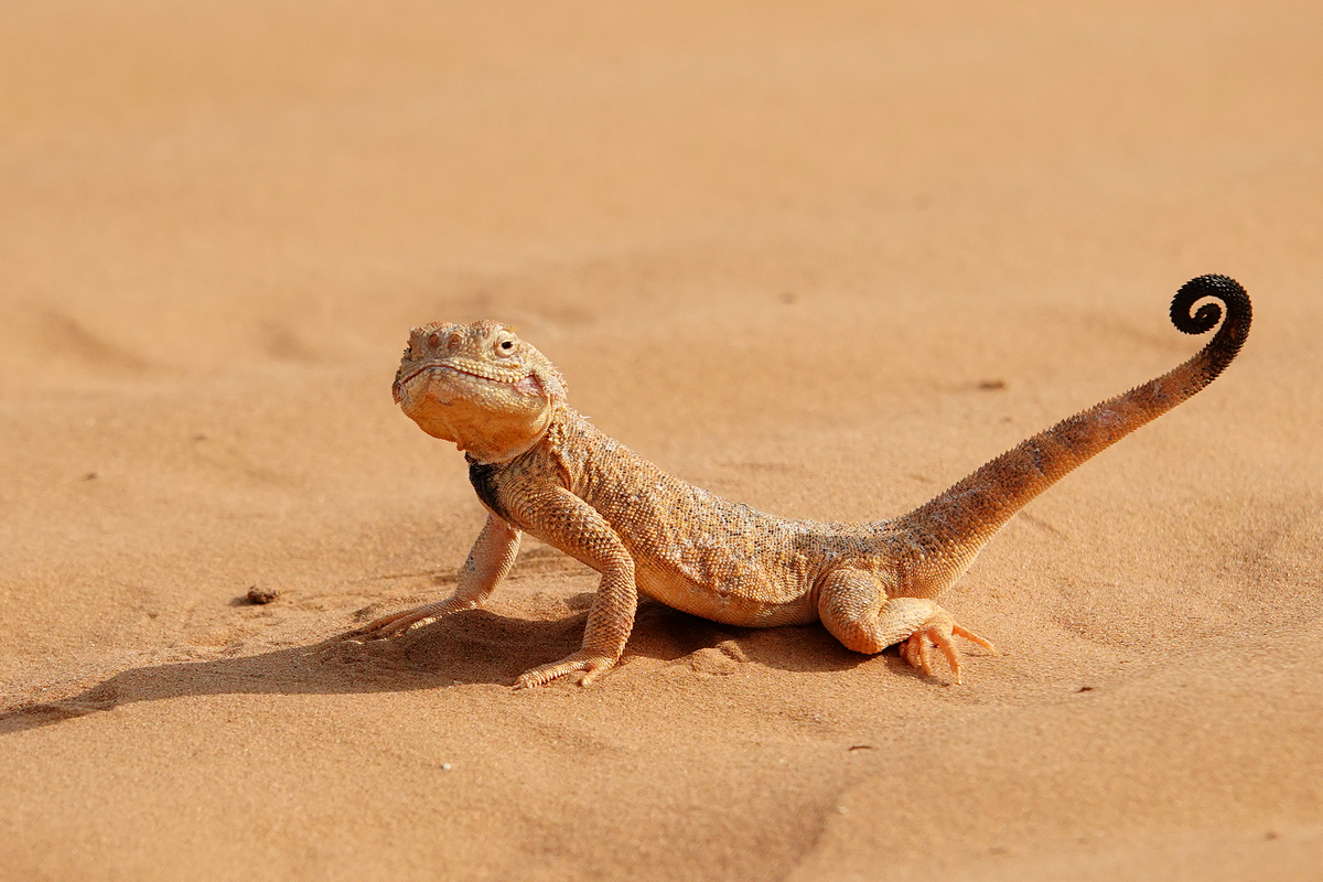 Lizard in the desert