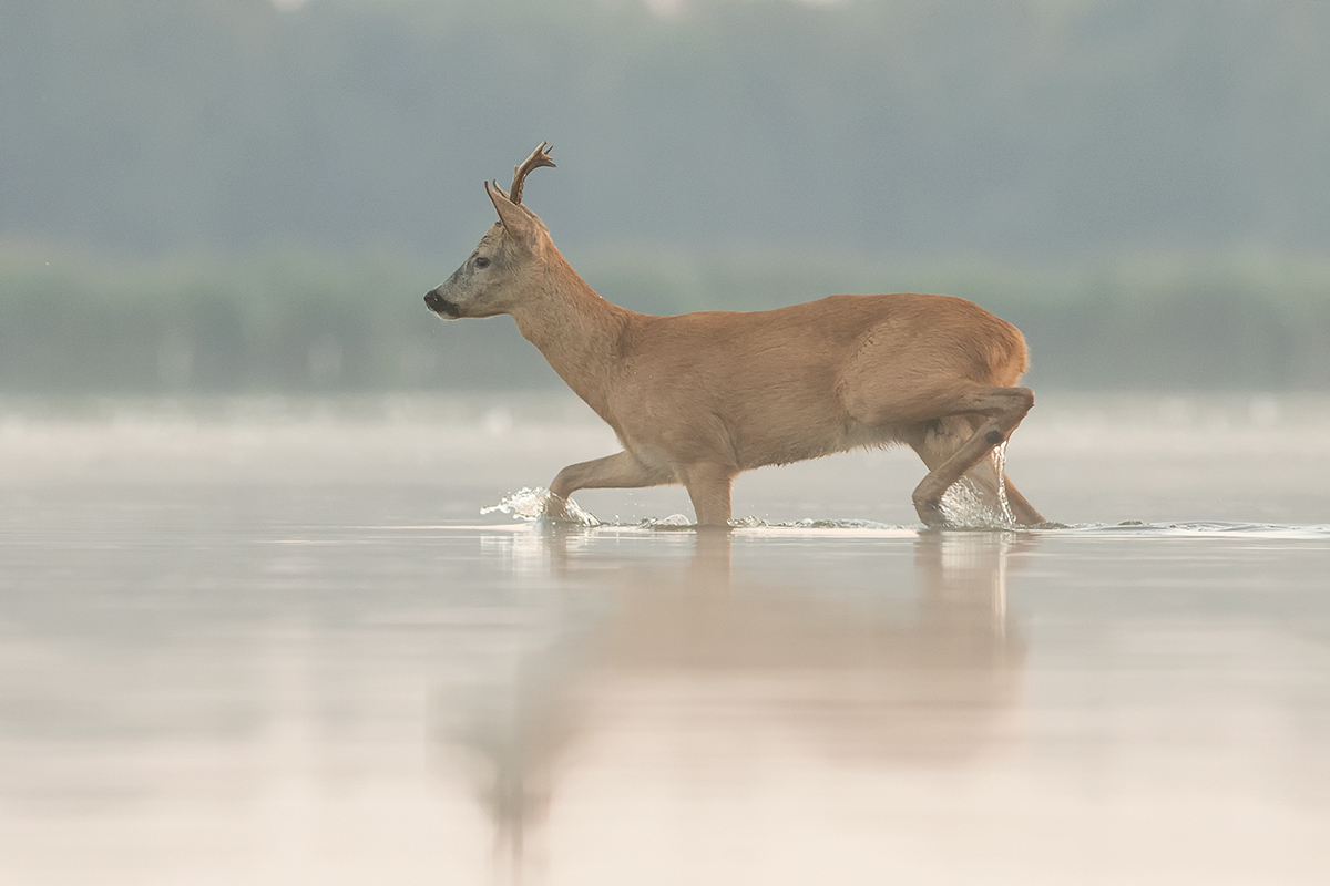 Young deer in a lake