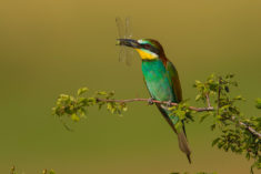 Golden Bee-eater