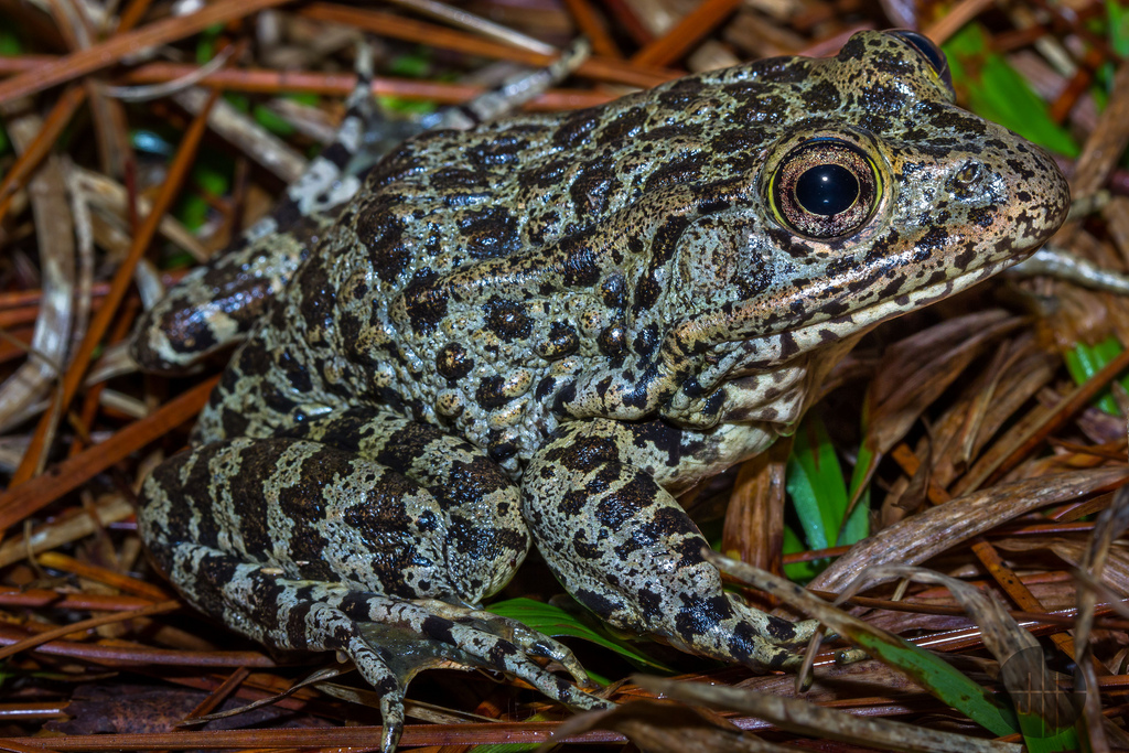 Dusky Gopher Frog, or Lithobates sevosus