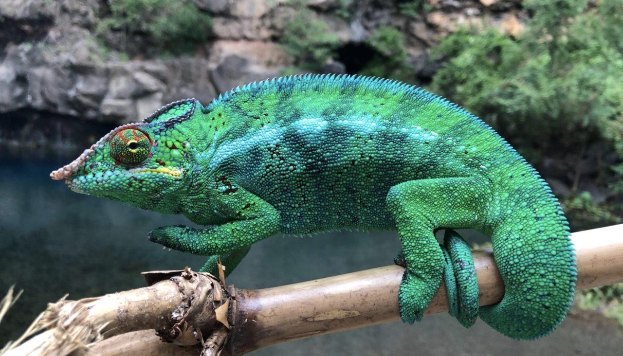 Male chameleon by Kévin de Berterèche | The Explorers