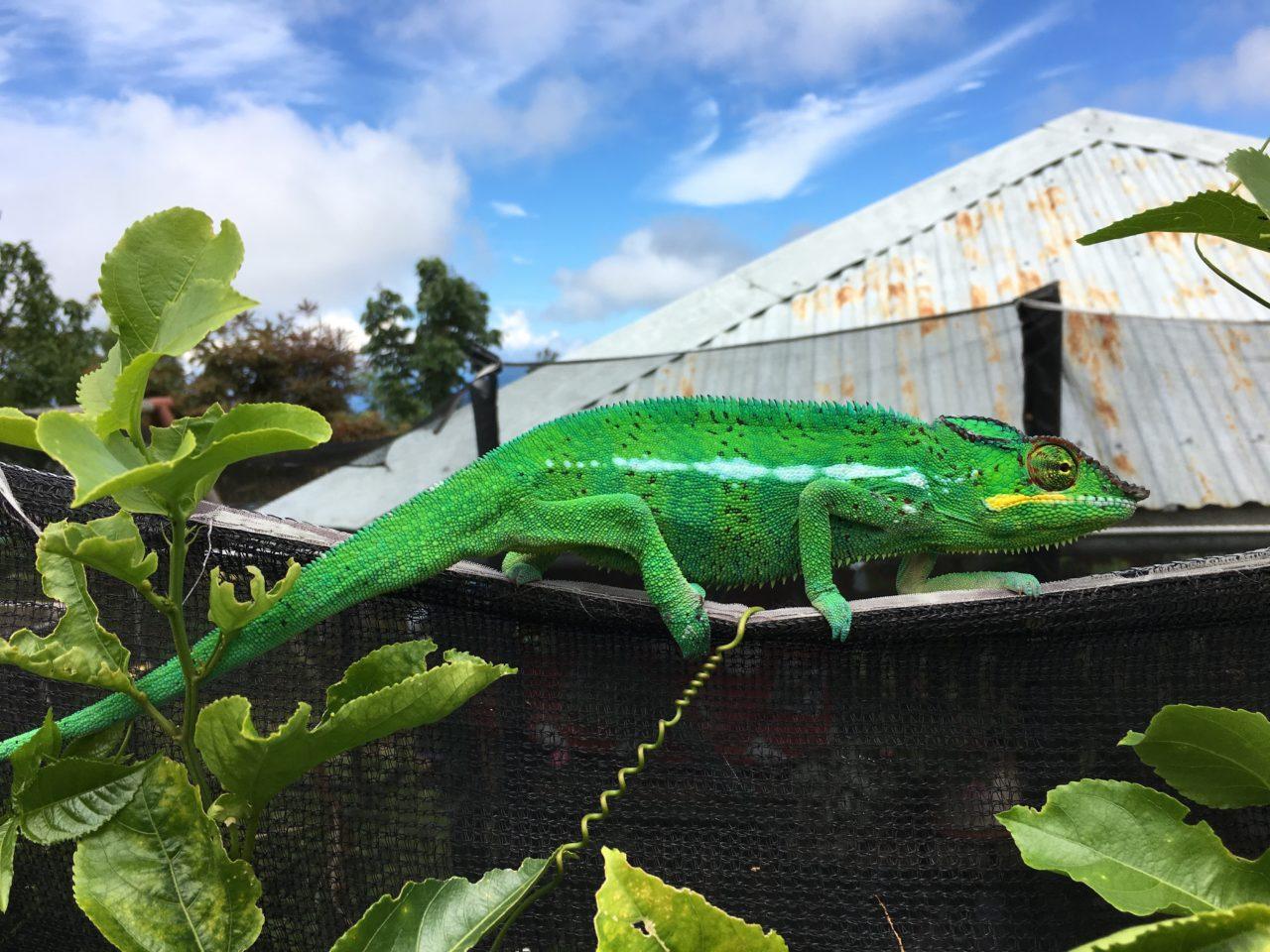 Male chameleon by Kévin de Berterèche   The Explorers