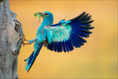 European roller eating an insect