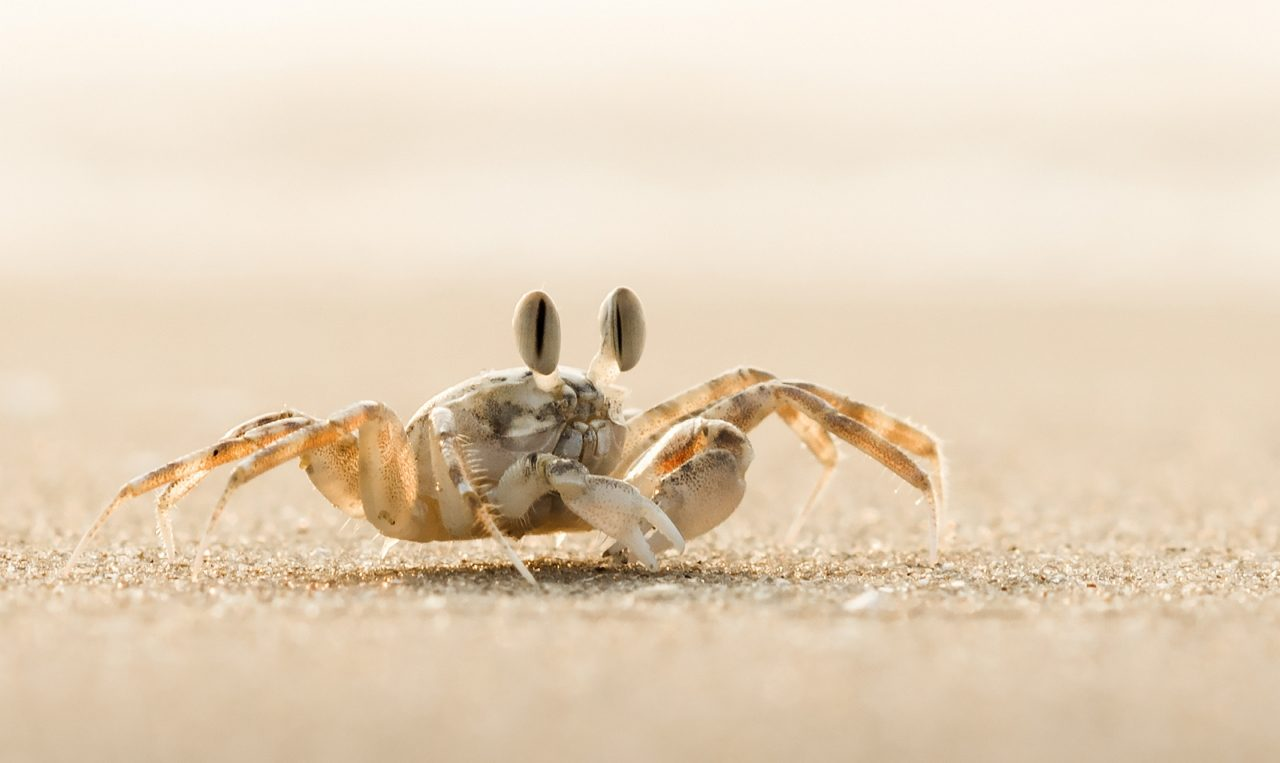 Ghost crab on the beach in Vietnam