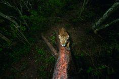 Jaguar, Sierra de Vallejo, Nayarit, Mexico