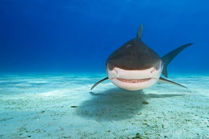 Tiger Shark, Bahamas