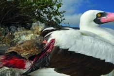 Nazca booby eaten live by a sharp-beaked ground finch when protecting its eggs, Wolf Island, Gal ...