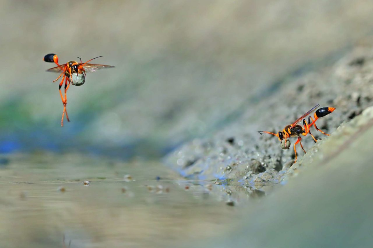 Hunting wasps in the mud and water, Walyormouring Natural Reserve, Australia