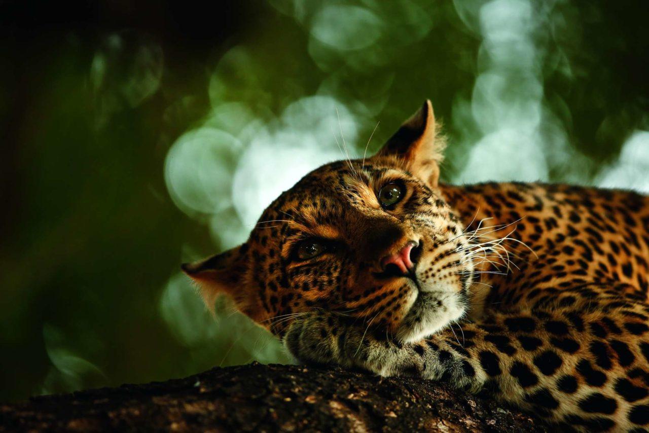 The lazy leopard, Mashatu Reserve, Botswana,