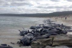 145 globicéphales s'échouent et meurent en Nouvelle-Zélande – Les Baleines