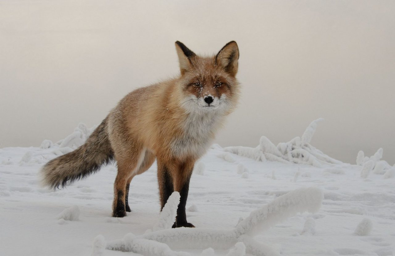 Fox on the Tatyshev Island, Russia