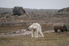 Skinny polar bear