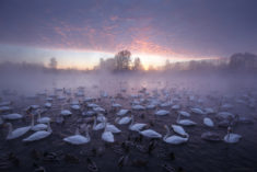 Swan Lake – Most Beautiful Picture