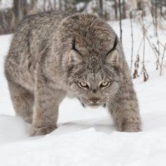 A female Canada Lynx, Yukon, Canada
