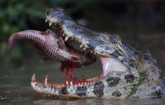 Crocodile chomping on a river fish in Pantanal, Mato Grosso, Brazil