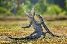 A crocodile and lizard fighting
