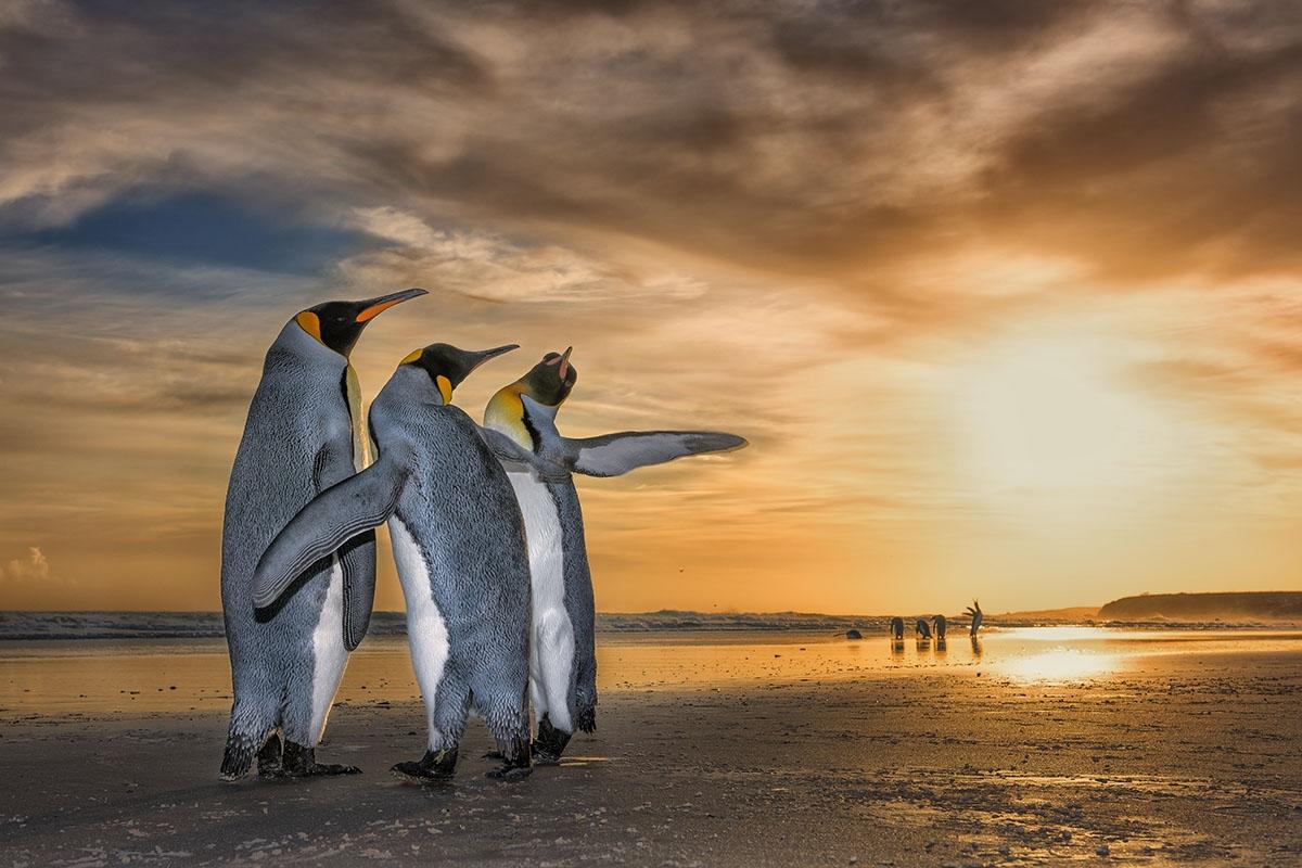 Penguins in the sunset, Wim Van Den Heever