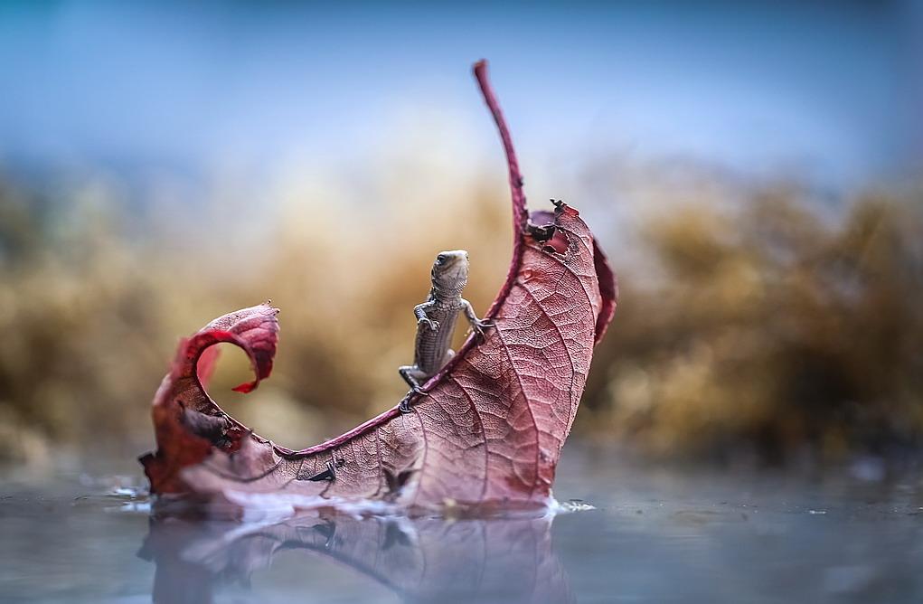 Lizard Jack Sparrow