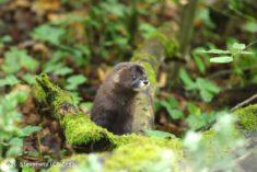 European mink