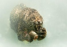 Jaguar underwater – Most Beautiful Picture