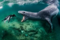 Leopard seal and penguin – Most Beautiful Picture
